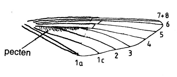 Hindwing with Venation and pecten of Agdistis bennetii (Pterophoridae).