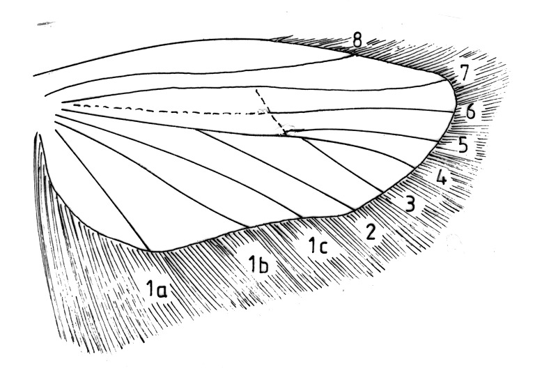 Hindwing with venation and cilia of Depressaria spec. (Oecophoridae).