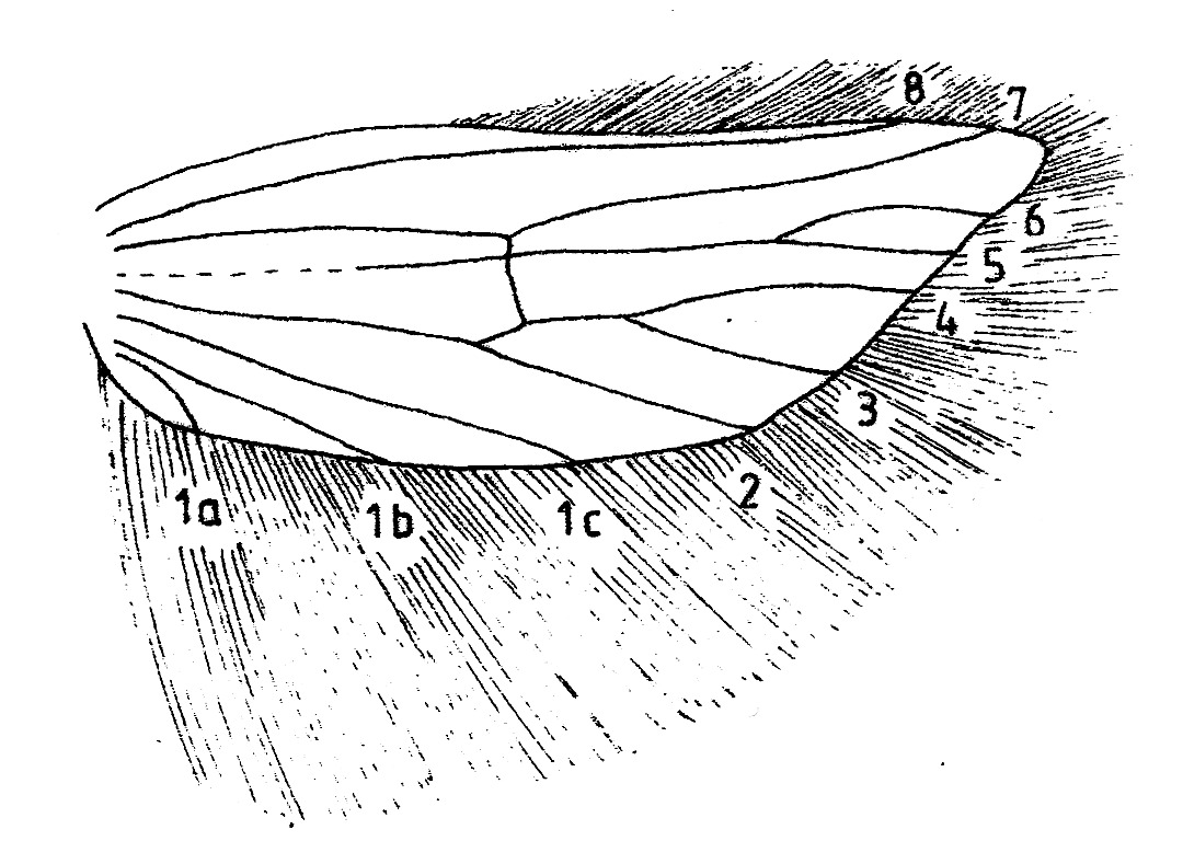Hindwing with venation and cilia of Acrolepiopsis assectella (Plutellidae).