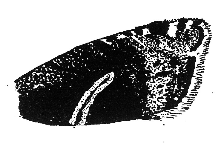 Forewing of Cydia jungiella (Tortricidae).