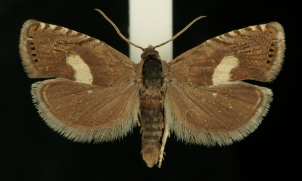 Dichrorampha petiverella